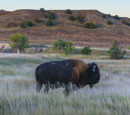 Wild Buffalo roaming near the campground in the Badlands National Park South Dakota